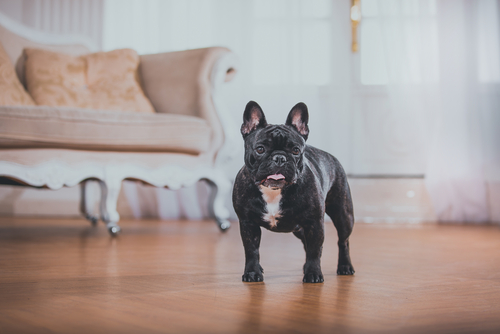 Bulldog em casa
