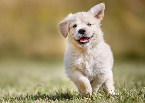 Los perros se comunican con las expresiones faciales, descubre de qué forma