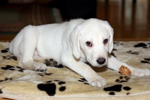 cachorro labrador albino