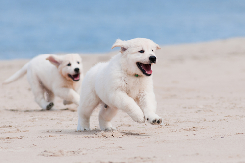 Cachorros de Golden Retriever jugando