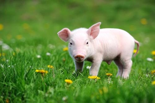 Resultado de imagen de cerdos de compañia