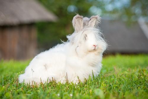 Maltrato a los conejos de angora para obtener su lana