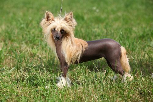 El perro crestado chino presenta dos variedades, una con pelo y otra sin pelo