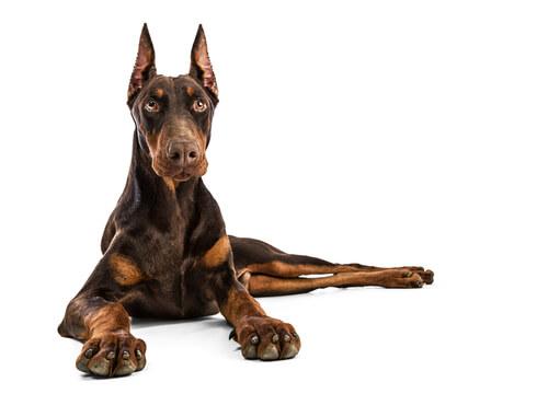 El Dóberman es una raza de perro grande.