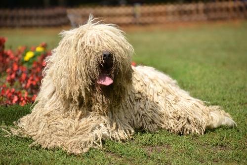 Las 8 razas de perros más curiosas