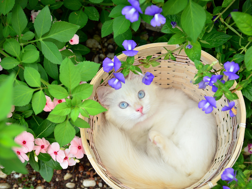 Curiosidades asombrosas sobre la sordera en gatos albinos