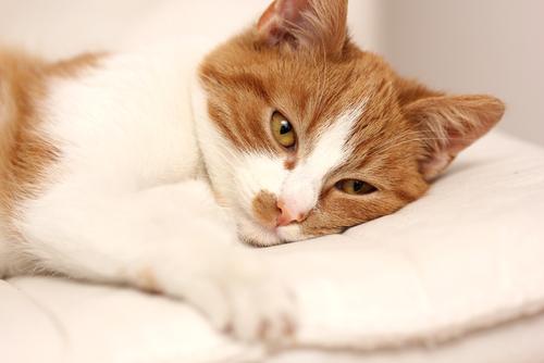 Tratamientos de la giardiasis en gatos