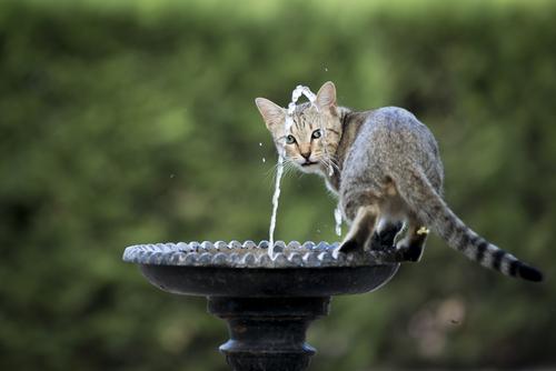 gato fuente agua