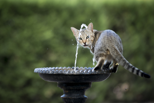 gato na fonte de água