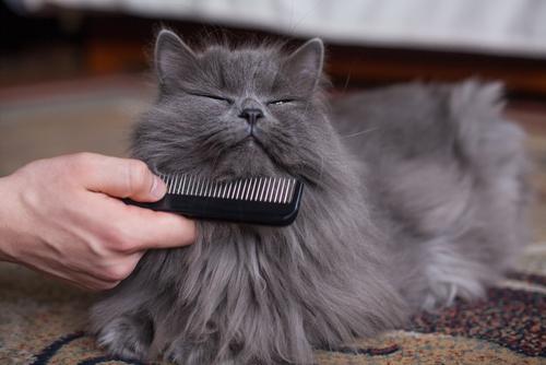 penteando gato