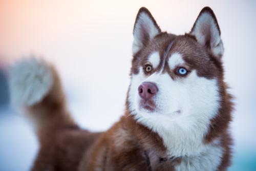 Mirada de husky siberiano