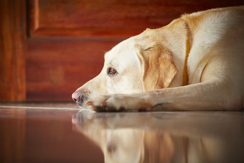 Labrador retriever acostado