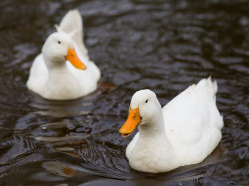 Patos nadando