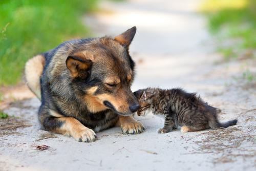 perro adopta gatito