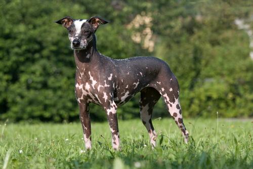 El perro sin pelo del Perú constituye una de las cinco variedades de perros sin pelo