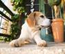 beagle perro solo
