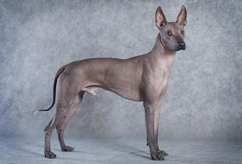 Las 5 razas de perro sin pelo
