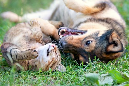 guia sobre raças de cães que podem se dar bem com os gatos
