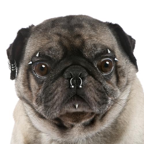 piercing pug