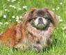 El pekinés es una de las razas de perros más antiguas que se conocen.