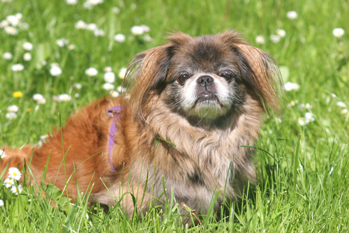 Pekinese dog in the grass