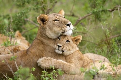 tigresa com filhote