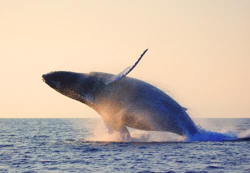 Ballena saltando en el mar