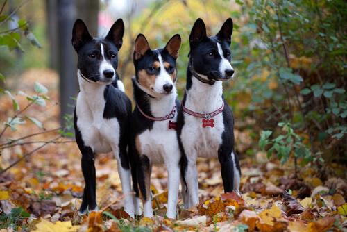 Consejos para limpiar las orejas de tu perro