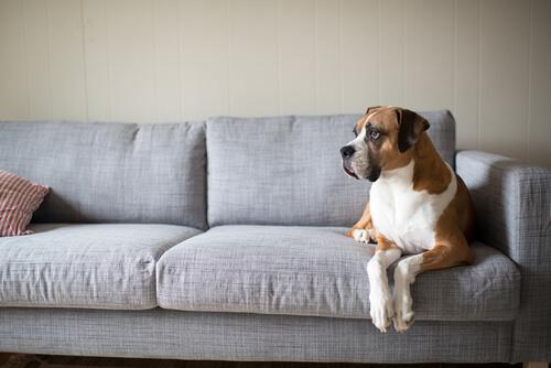boxer en sofa