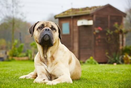 5 mitos sobre perros grandes