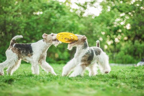 fox terrier 3 juega
