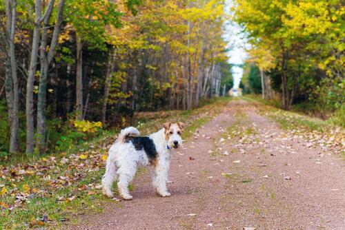 El Fox Terrier es una de las razas de perro que tienen barba.