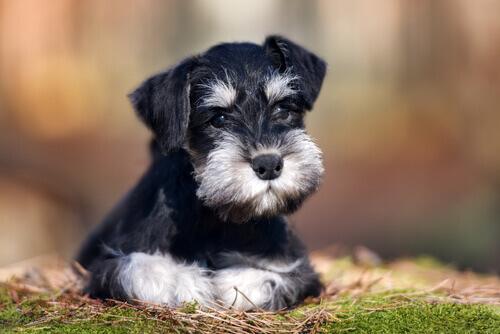 El Schnauzer es una raza de perros originaria de Alemania.