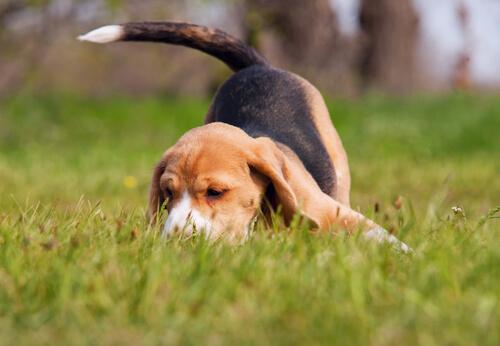 Beagle rastreando