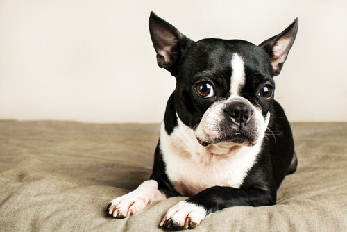 Conoce las razas de perros ideales para un piso