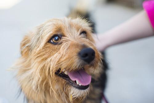 caricia perro