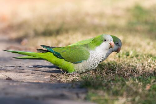 La cotorra argentina es un ave que construye sus propios nidos.
