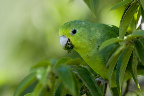 La cotorra argentina, un ave muy escandalosa