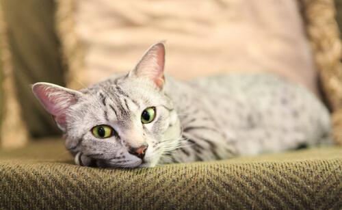 ¿Conoces la raza de gato Mau egipcio? Aquí te hablamos de ella