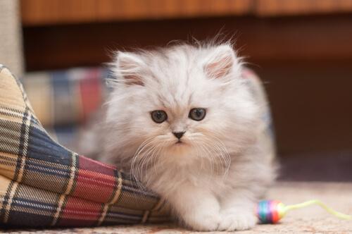 El gato Persa: conoce sus características