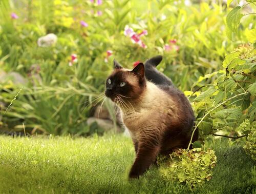 ¿Cuáles son las principales características del gato siamés?