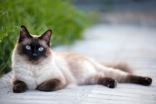 El gato siamés presenta unos grandes ojos azules.