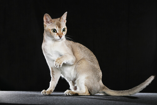 gato singapura 2