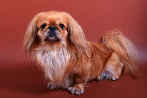 El Pekinés es una raza de perro que originariamente era considerada como una raza sagrada.