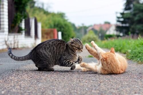 pelea gatos