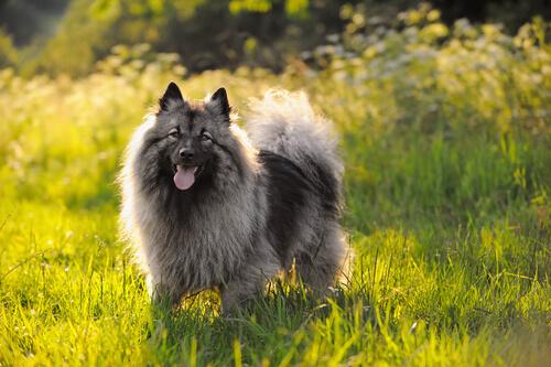 Características del perro Keeshond. ¡Descubre cómo son!