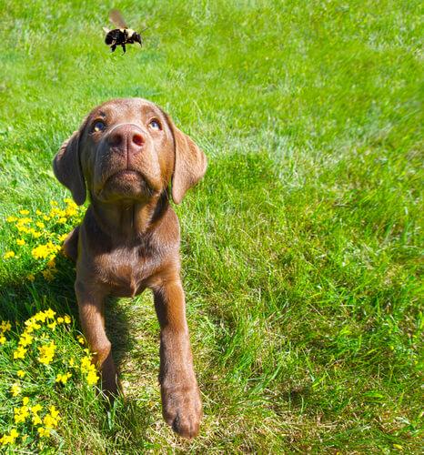La picadura de abeja o avispa en el perro: cómo actuar