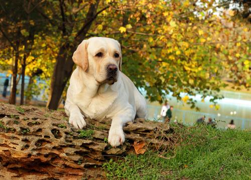 Perro labrador en el parque