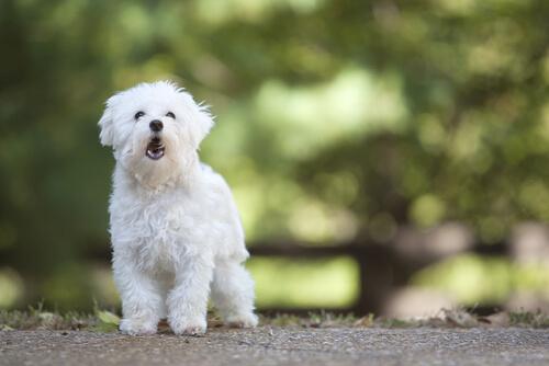 ¿A qué edad empiezan a ladrar los perros?