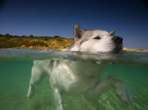 cachorro nadando